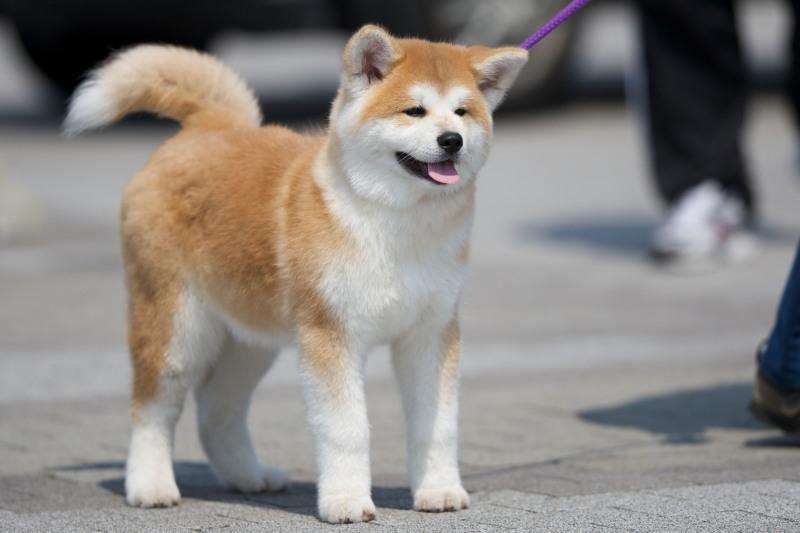 散歩する秋田犬の子犬