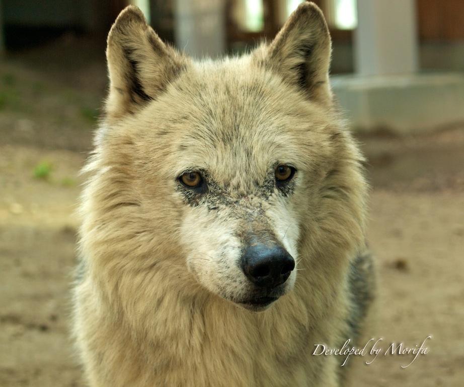 Wolf14