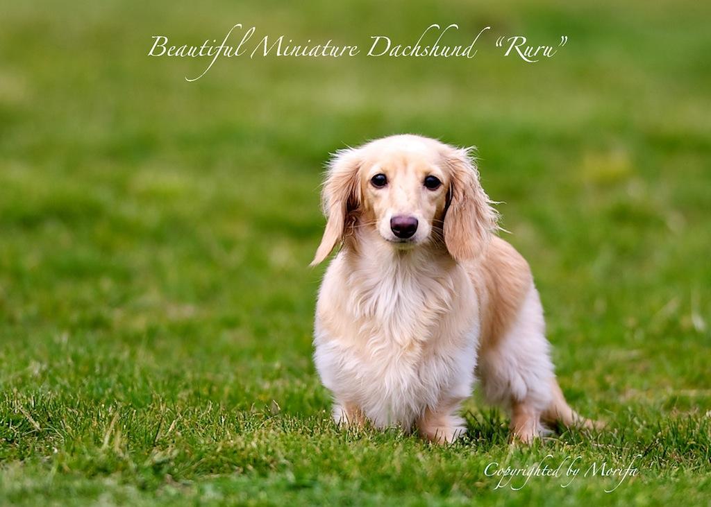 Miniature_dachshund