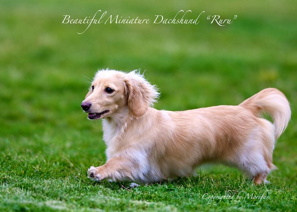 Miniature_dachshund_2