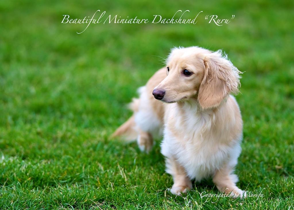 Miniature_dachshund_3_2